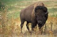 Bufalos Team